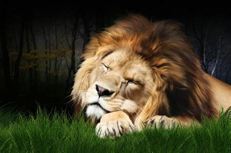 a lion was asleep picture 11