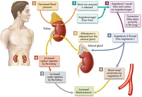 head injury and blood pressure and aldosterone release picture 2