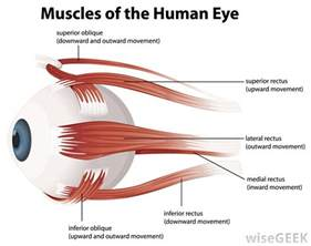 eye muscle control picture 1