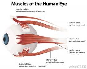 eye muscle picture 2
