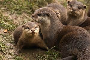baby river otter diet picture 13