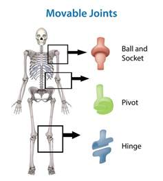 pivot joint skeleton human picture 13