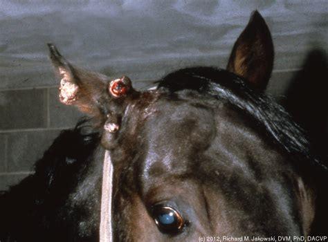 equine ear papillomas picture 3