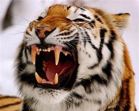 tiger teeth picture 1