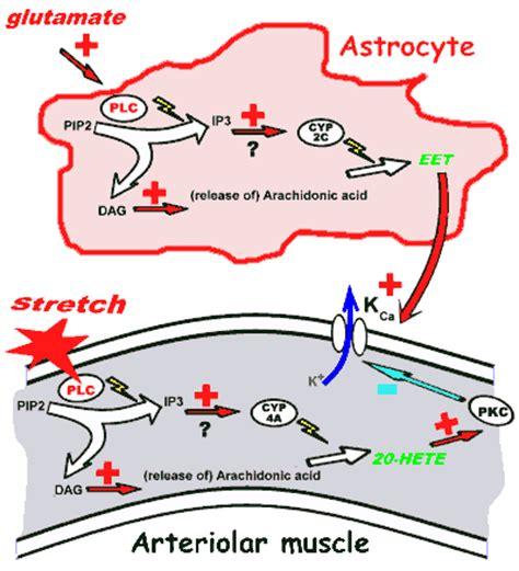 cerebral blood flow autoregulation picture 11