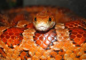 pictures of corn snake h picture 6