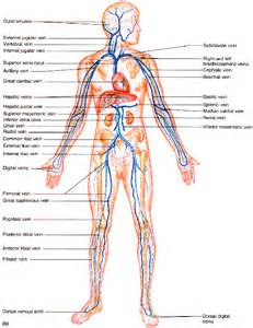 blood vessels and circulation picture 19