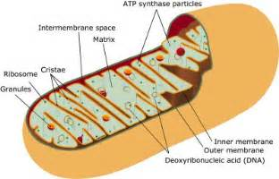 aspartame and liver function picture 10