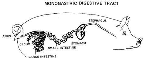 compare and contrast pig gastrointestinal system picture 4