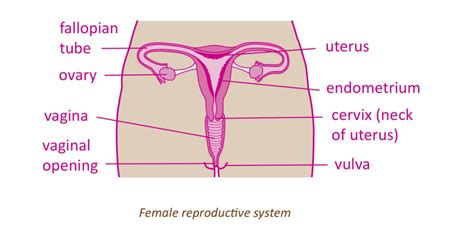 diagram of small penis ina vagina picture 5