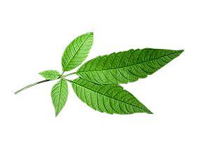 mga herbal na dahon picture 5