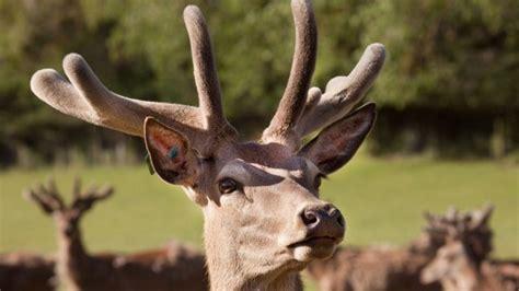 deer velvet antler good for h picture 3