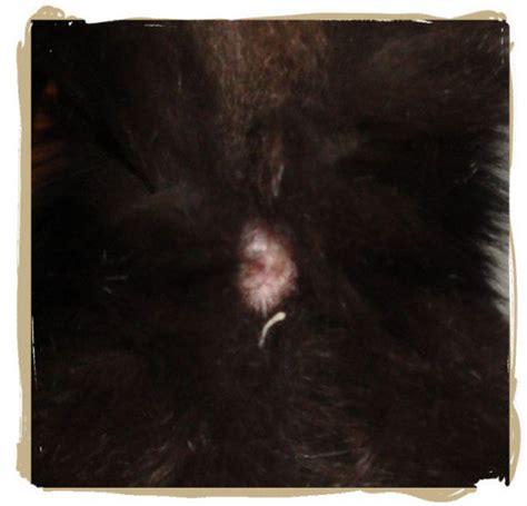 cat worm symptoms picture 1