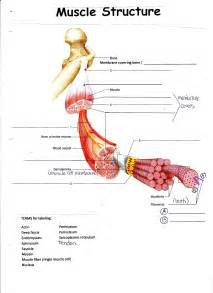 muscle tendon diagram picture 19