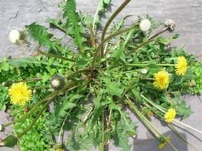 dandelion weeder picture 11
