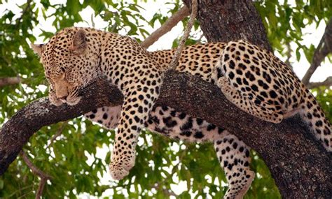 cheetah sleeping in a tree picture 5