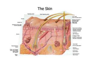 structure of the skin graphs picture 3