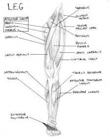 leg muscle diagram picture 11