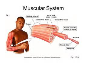 functions of muscle system picture 5