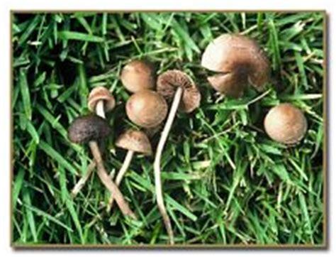 is peziza domiciliana toxic picture 10
