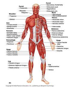 high school anatomy what muscles and joints are picture 5