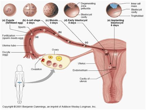 female part of zygote for antiaging picture 2