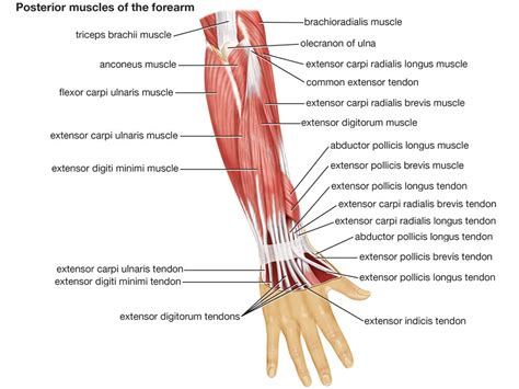 diagram of body muscle picture 10