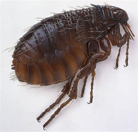 herbal remedy fleas picture 7
