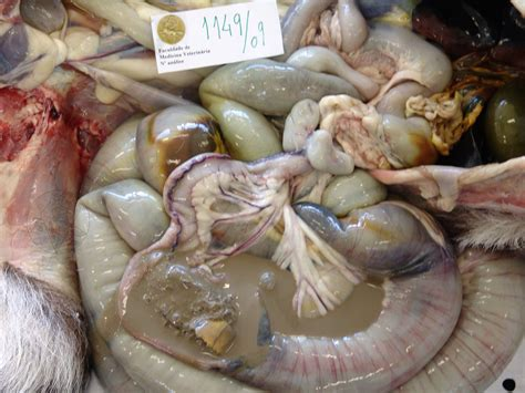 what do intestinal parasites and colon parasites look like picture 12