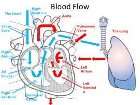 heart diagram blood flow picture 15