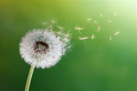dandelion allergy picture 3