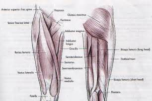 leg adductor muscle picture 6