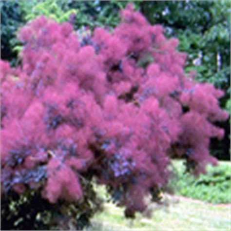 caring for my purple smoketree picture 11