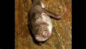vampire fungus wikipedia picture 9