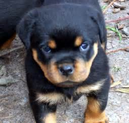 aging rotweiler picture 7