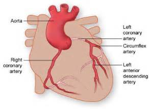 heart arteries diagram picture 9