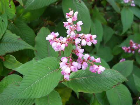 Safety japanese knotweed nutritional picture 15