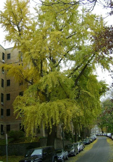 washington state ginkgo tree retailers picture 5