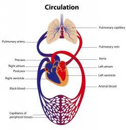 blood flow in the circulatory system picture 2
