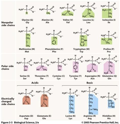 amino acids and proteins that build blood flow picture 6