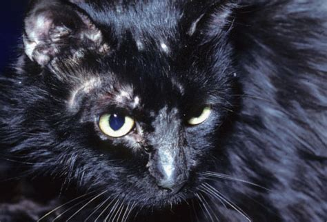 cat skin conditions picture 17