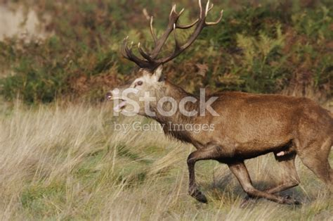 buck deers cock how long is it picture 2