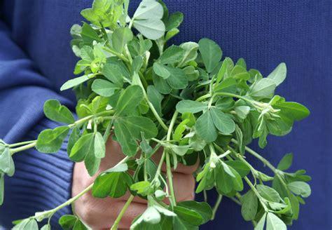 fenugreek herb picture 2