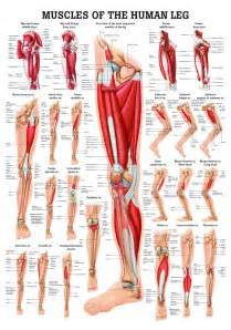 leg muscle illustration picture 6
