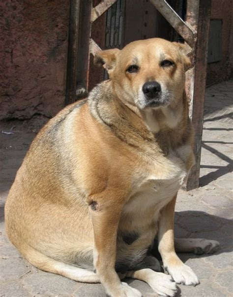 hypothyroid in dogs picture 1