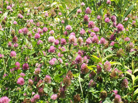 search : wikipedia for red clover picture 1