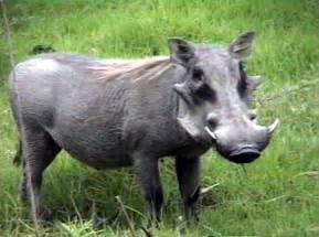 wart hogs picture 2