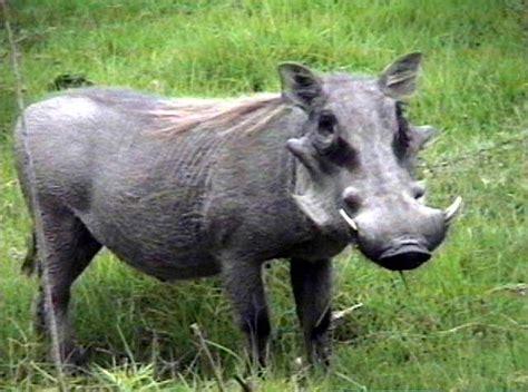 wart hog picture 6