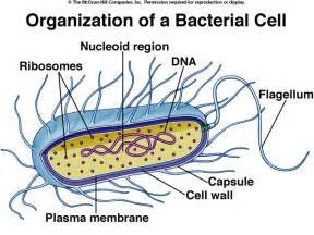 Bacterial cell image picture 9