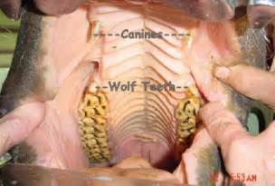 wolf teeth picture 11